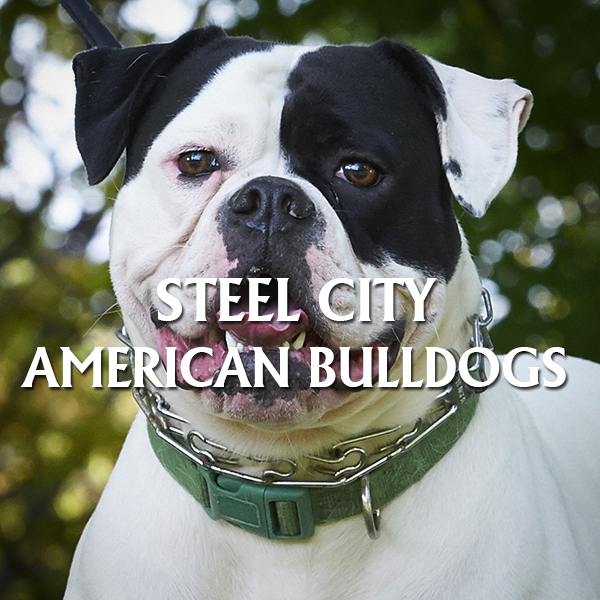 Steel City American Bulldogs